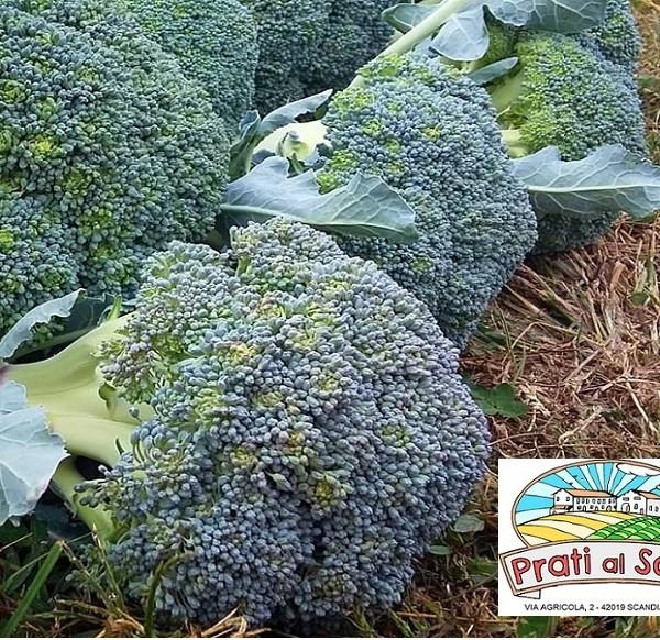 cavolo broccolo belstar