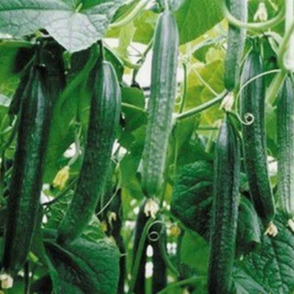 cetriolo lungo