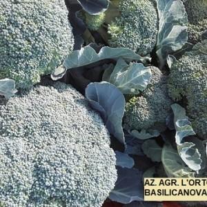 cavolo broccolo moycan